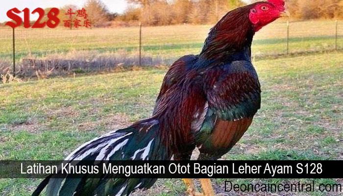 Latihan Khusus Menguatkan Otot Bagian Leher Ayam S128