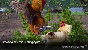 Rawat Ayam Birma Sabung Ayam S128