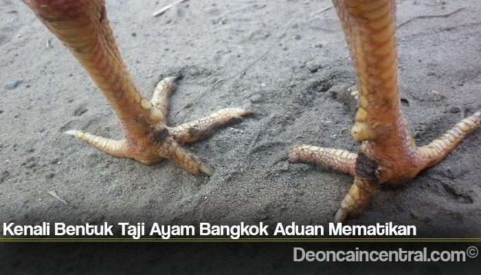 Kenali Bentuk Taji Ayam Bangkok Aduan Mematikan
